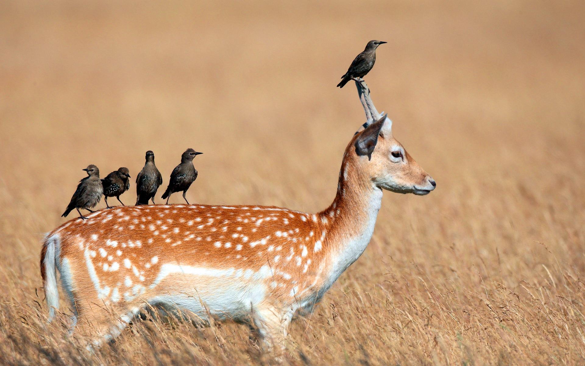 Birds on deer