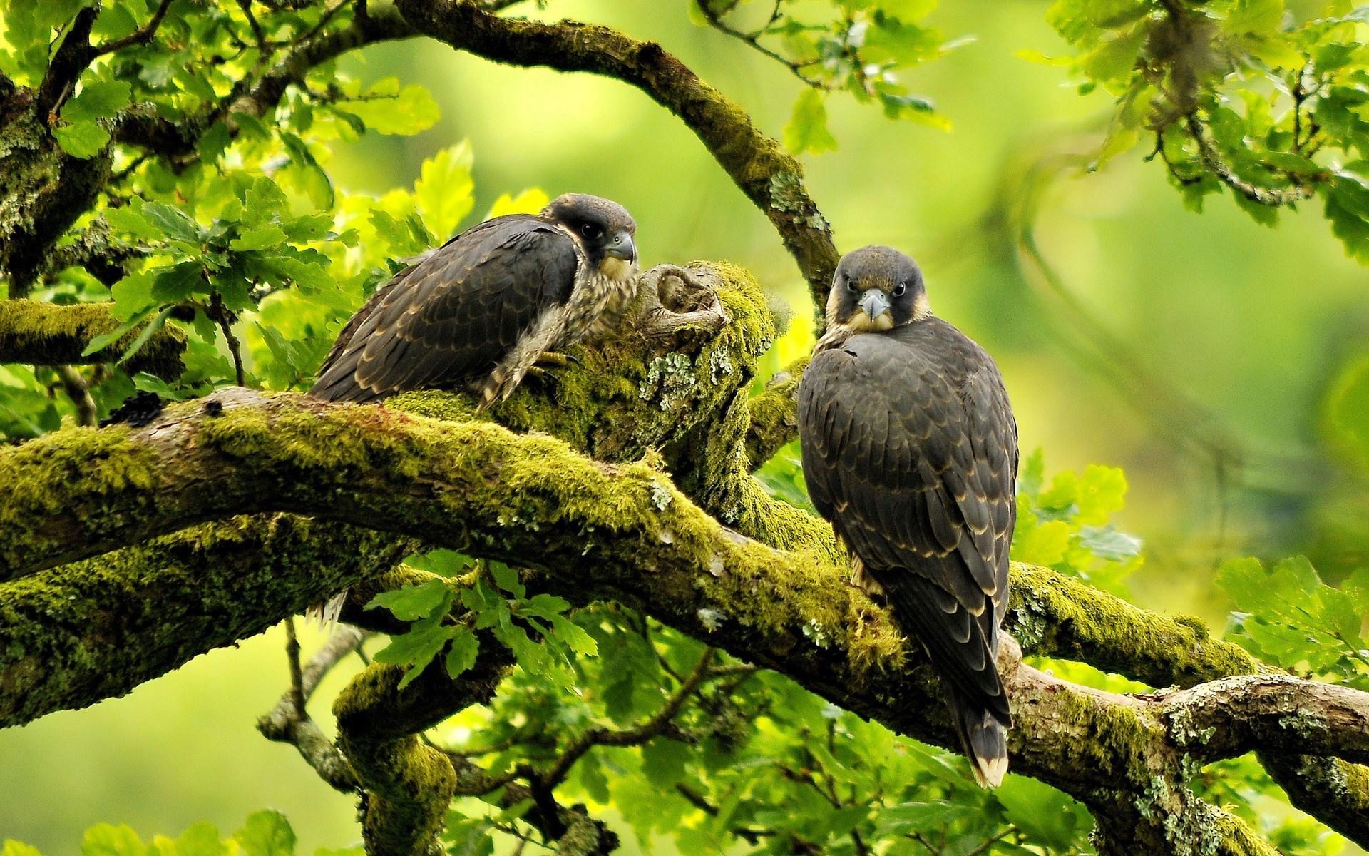 Birds Peregrine Falcon Branches Nature