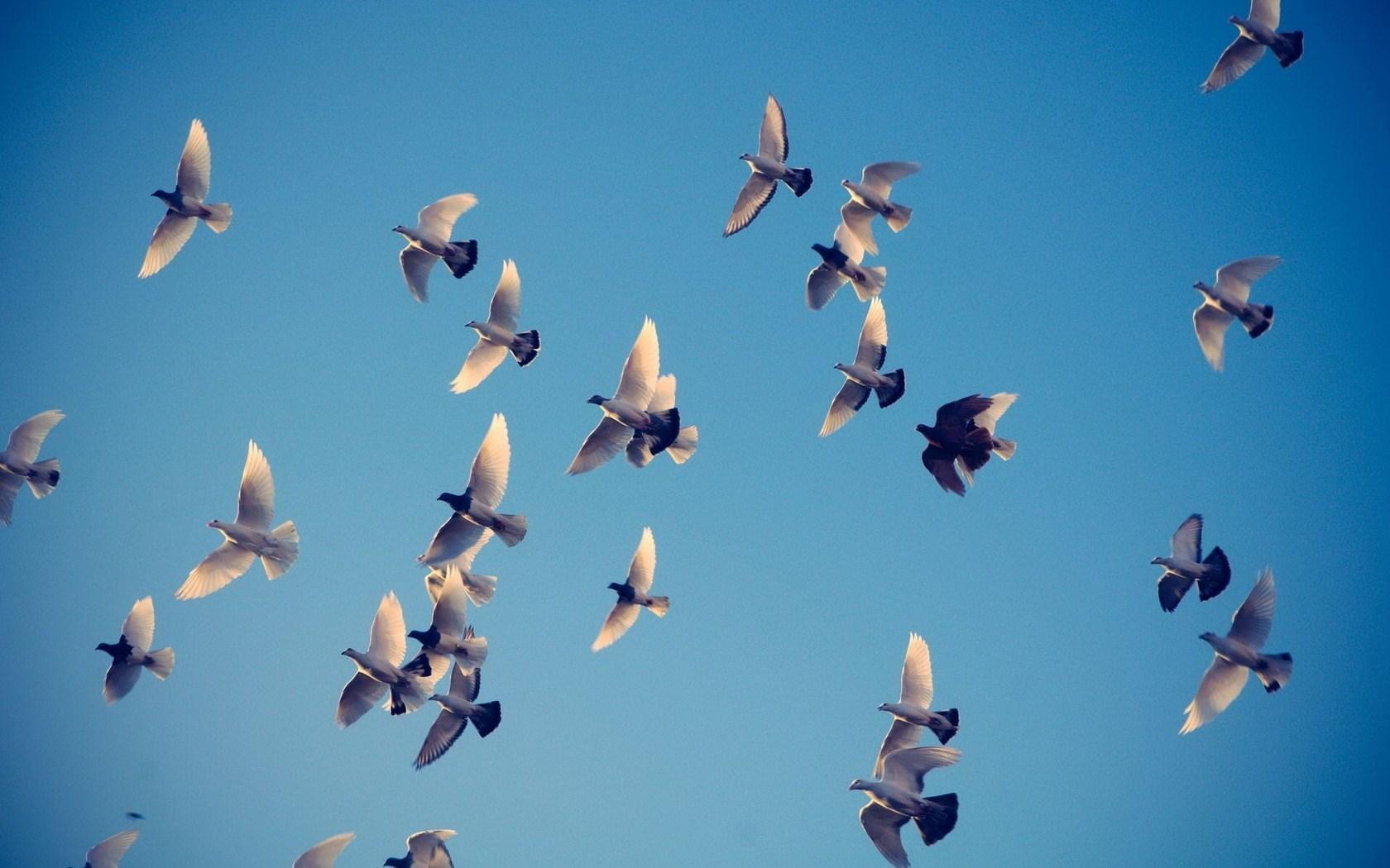 Birds Pigeons Sky Photo HD Wallpaper