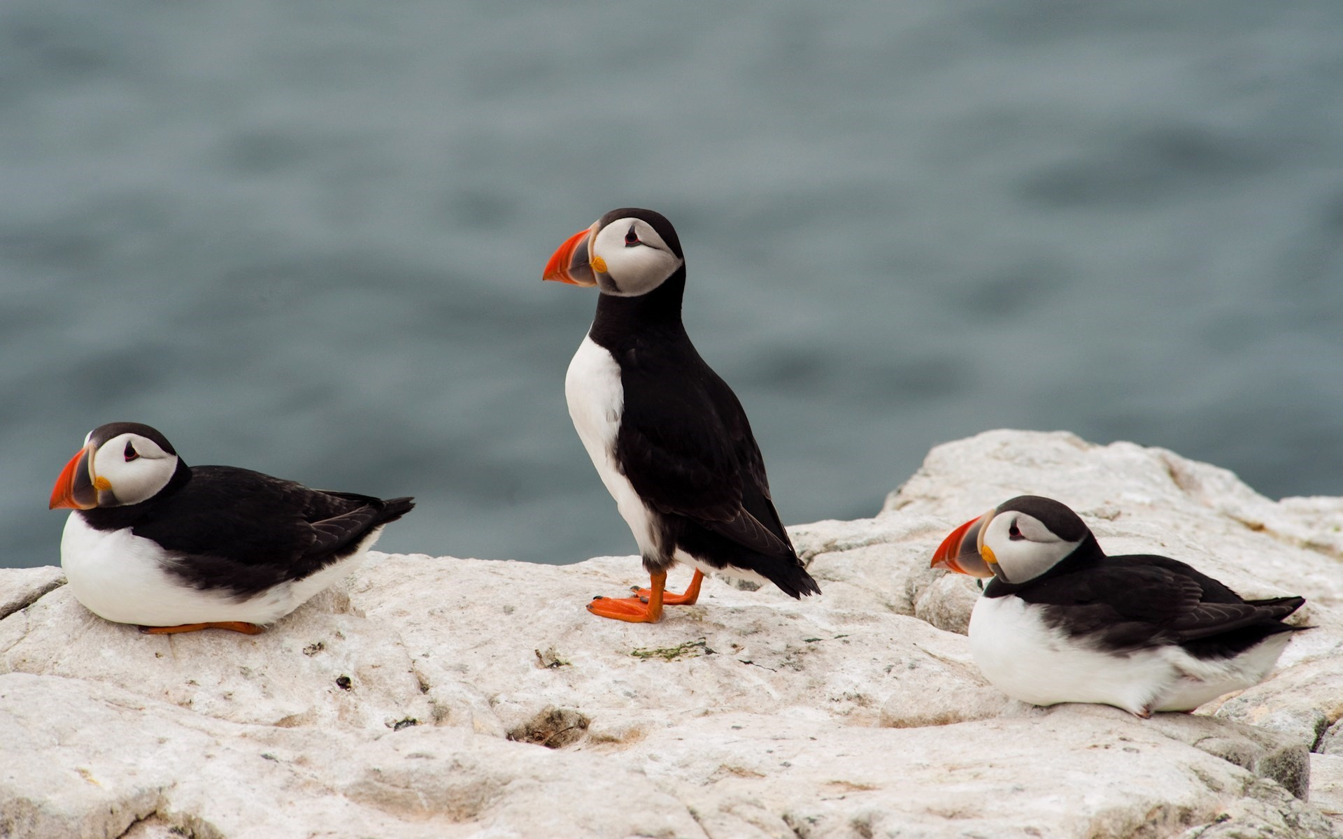 Birds Puffin Sea