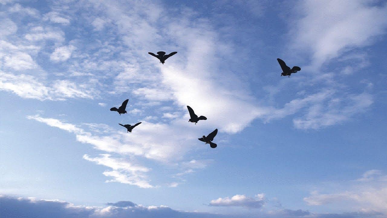 green screen effect - Flock of birds flying in the sky -