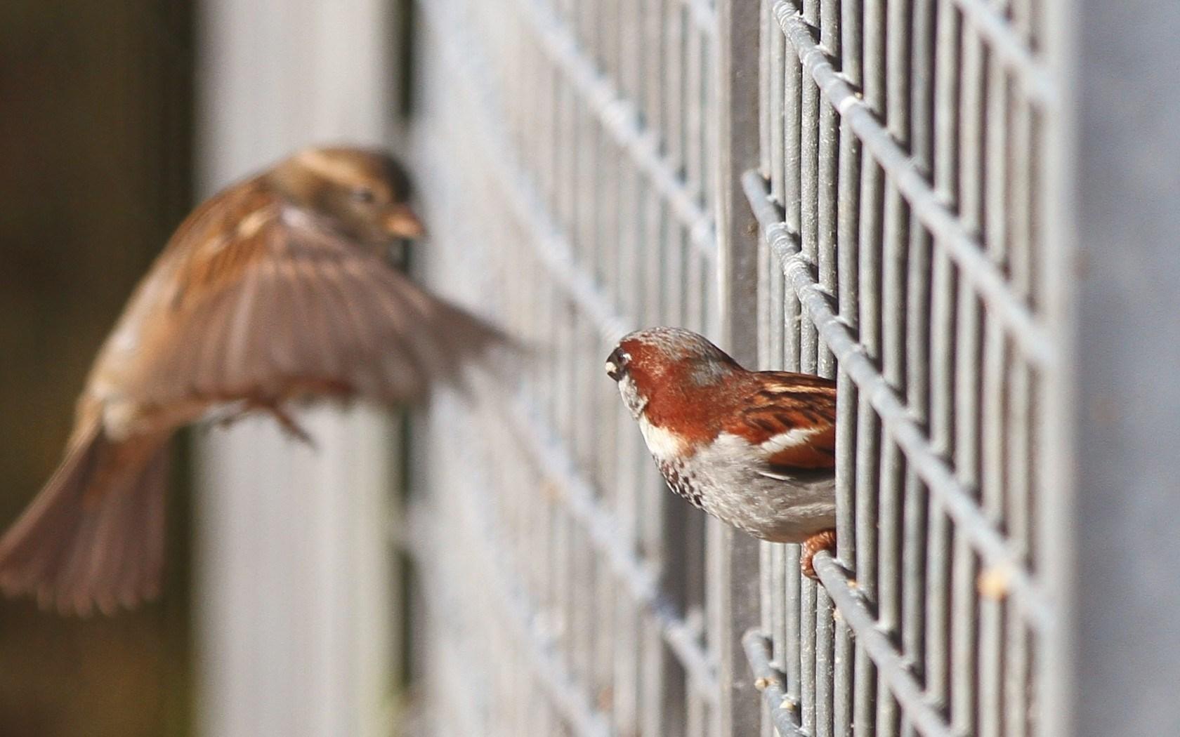 Birds Sparrows Focus Fence