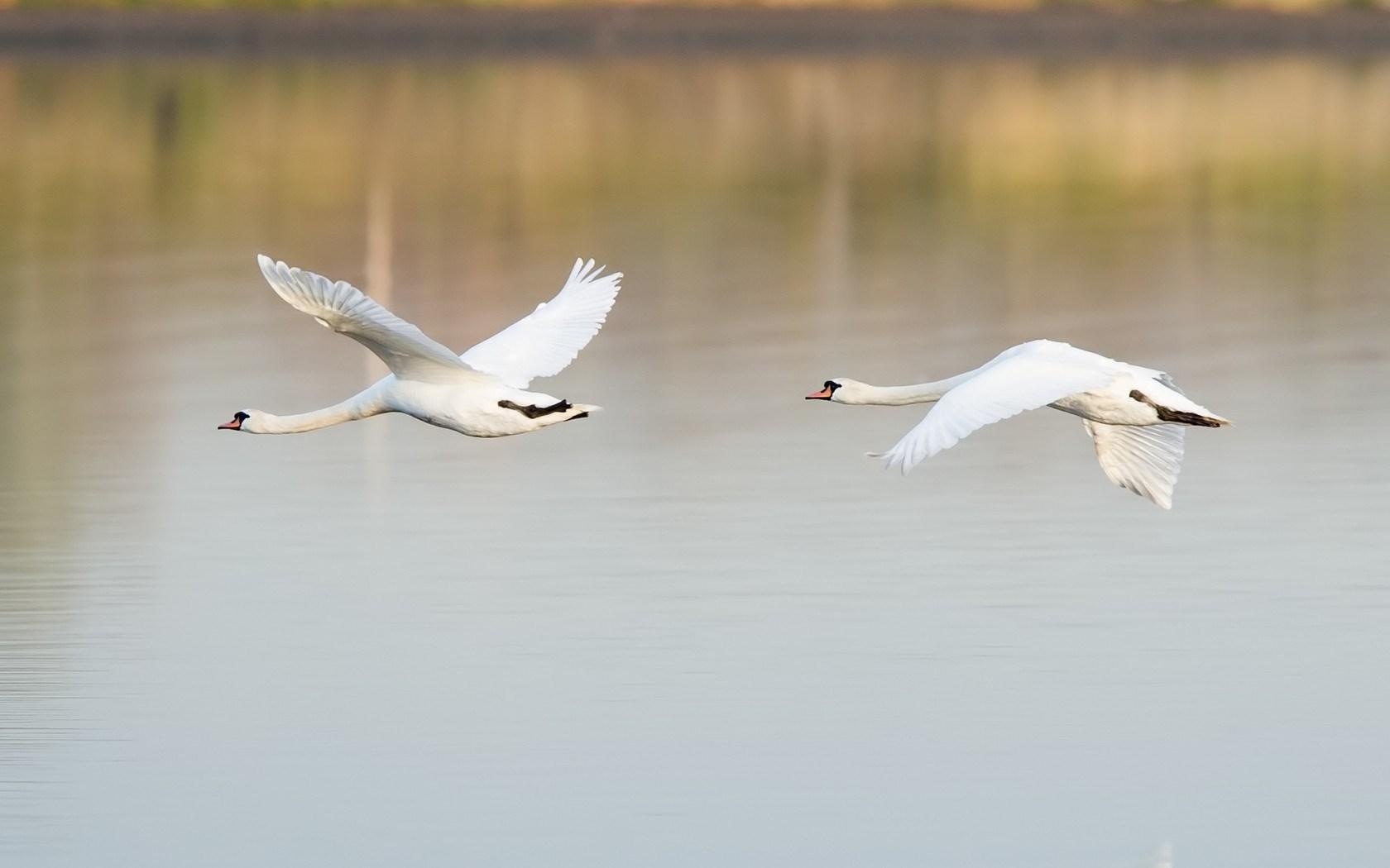 Birds Swans Couple Flight Lake
