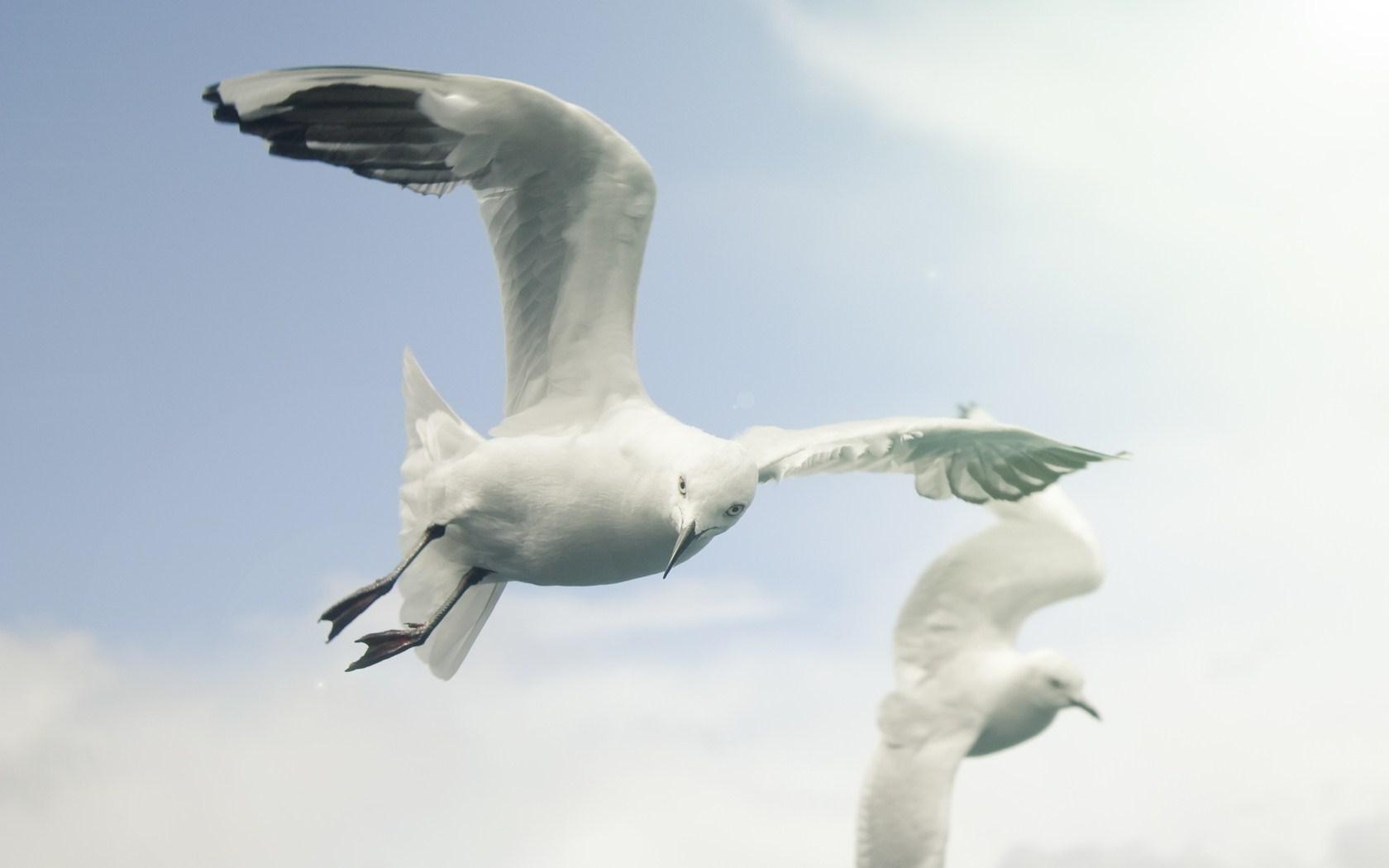 Birds White Seagulls Sky