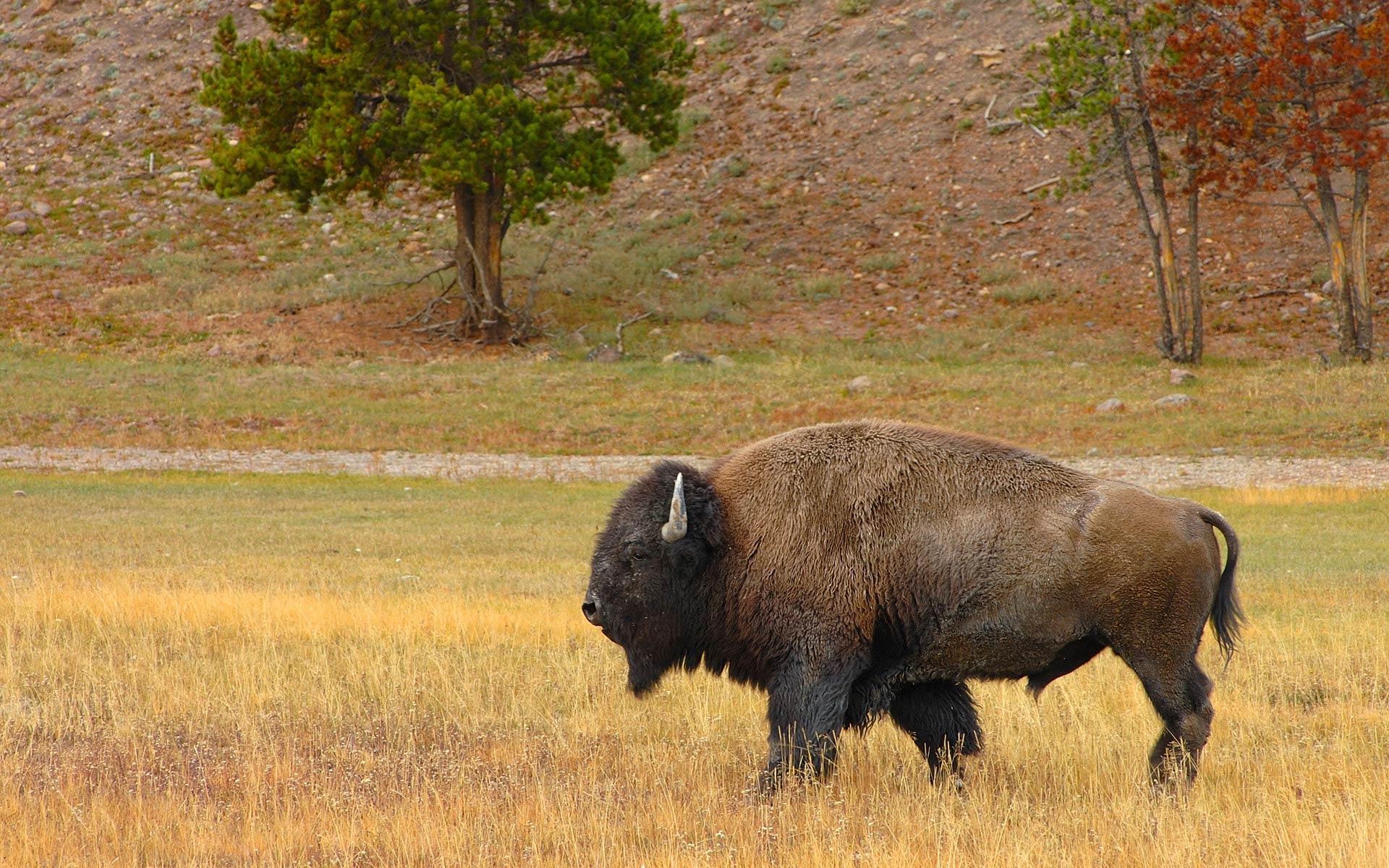 free animal Bison wallpaper desktop