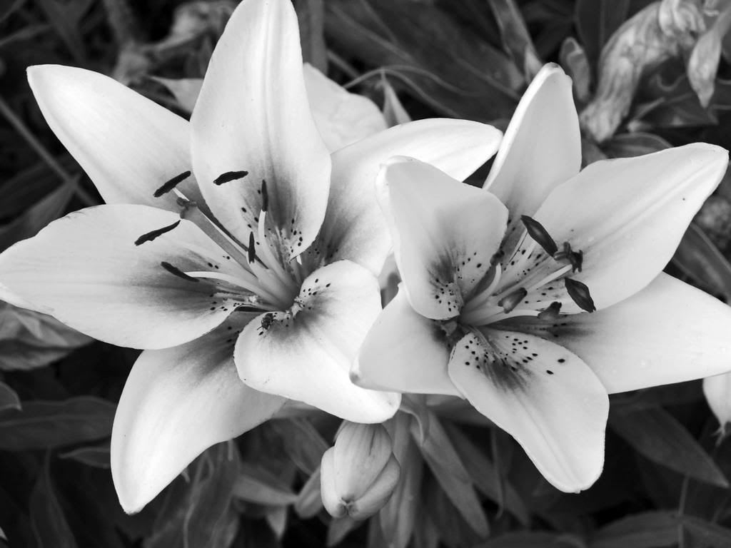 Black And White Flower Images 12 HD Wallpapers
