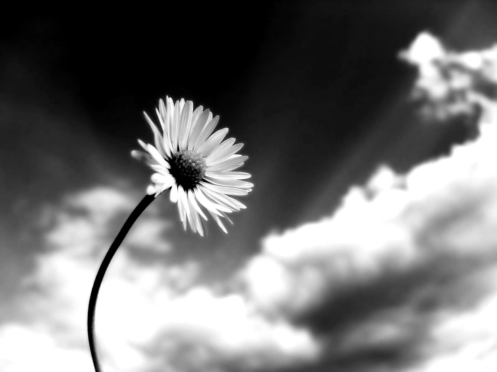Black And White Flowers Wallpaper 1600x1200 51482