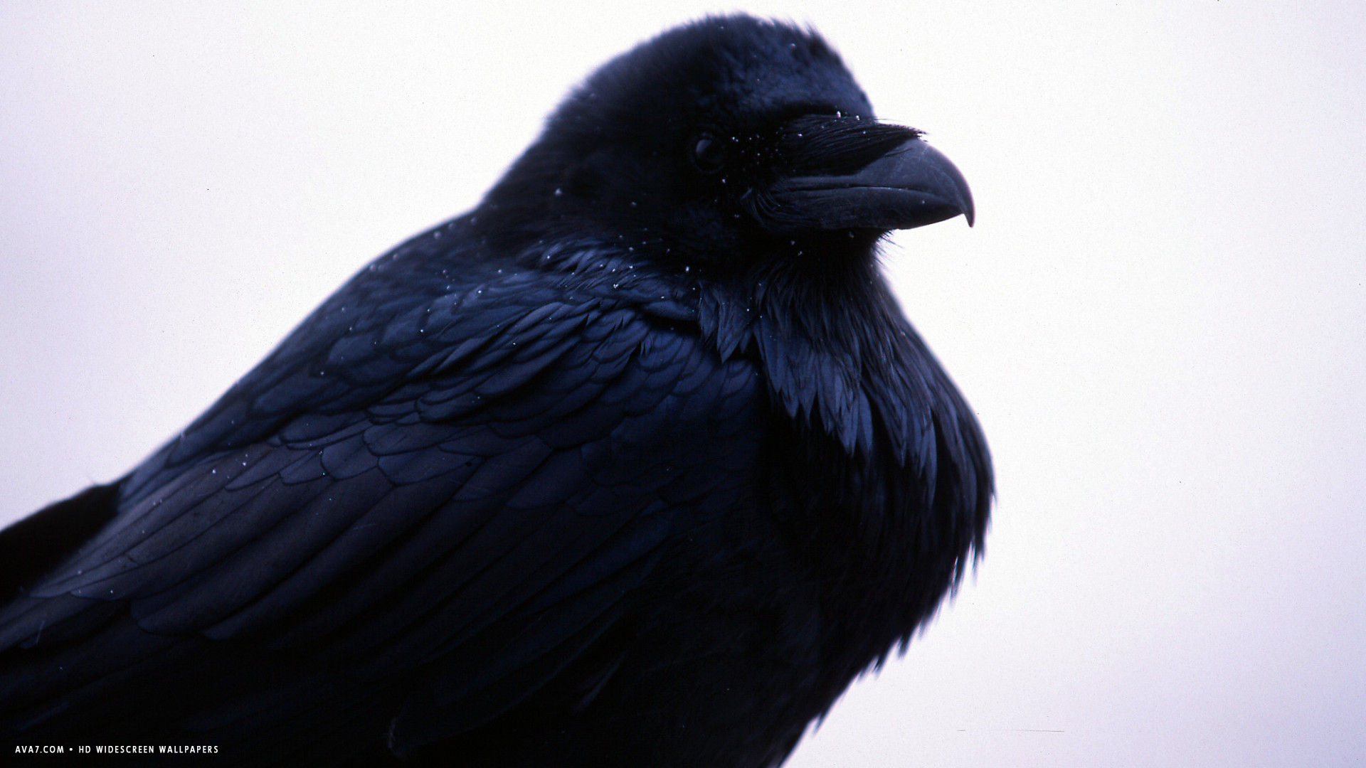 raven black bird hd widescreen wallpaper