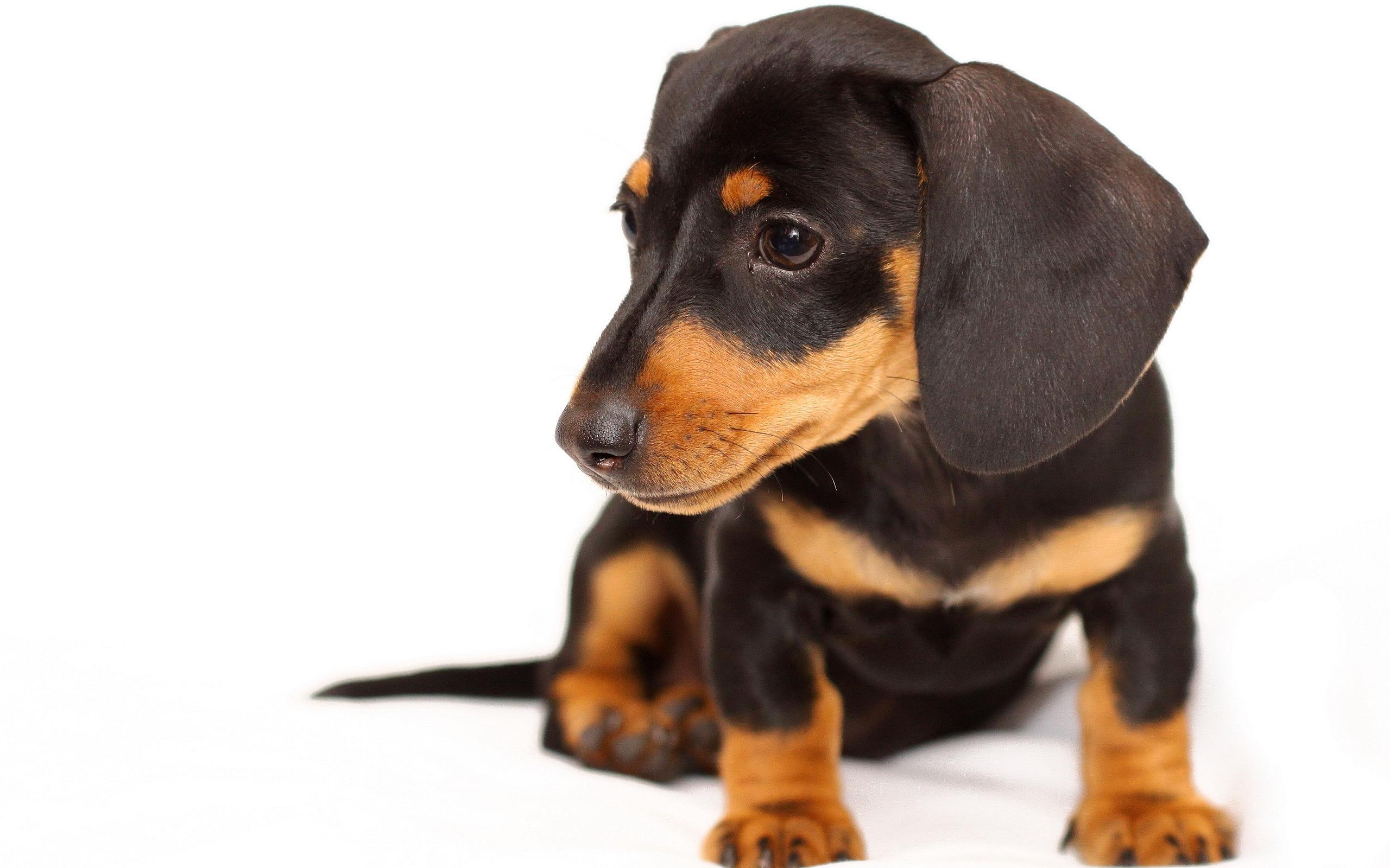 Black Brown Puppy