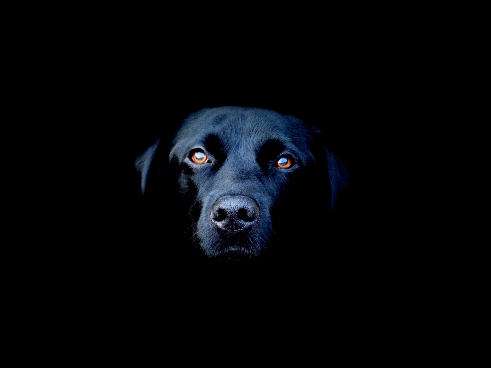 Portrait of Black Dog Face in the Dark (click to view)
