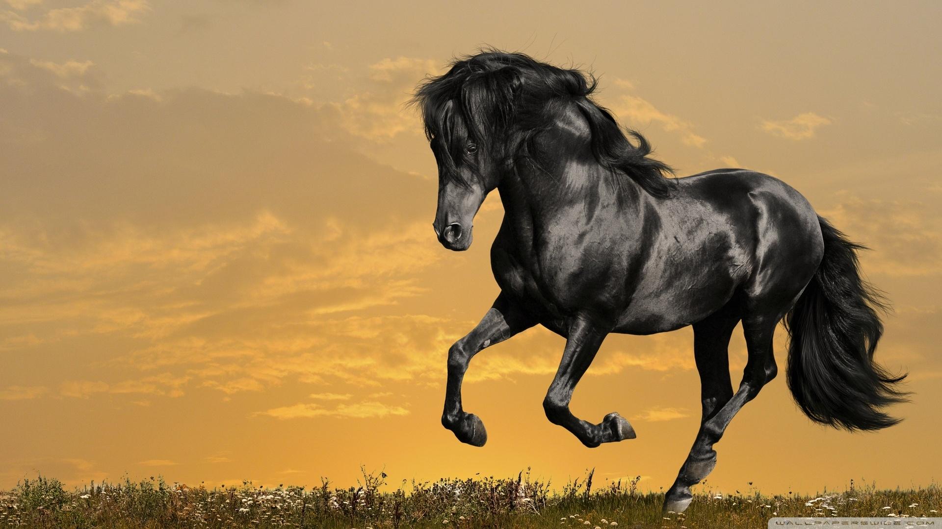 Black Horse Pictures Hd Wallpaper 1920x1080 11837