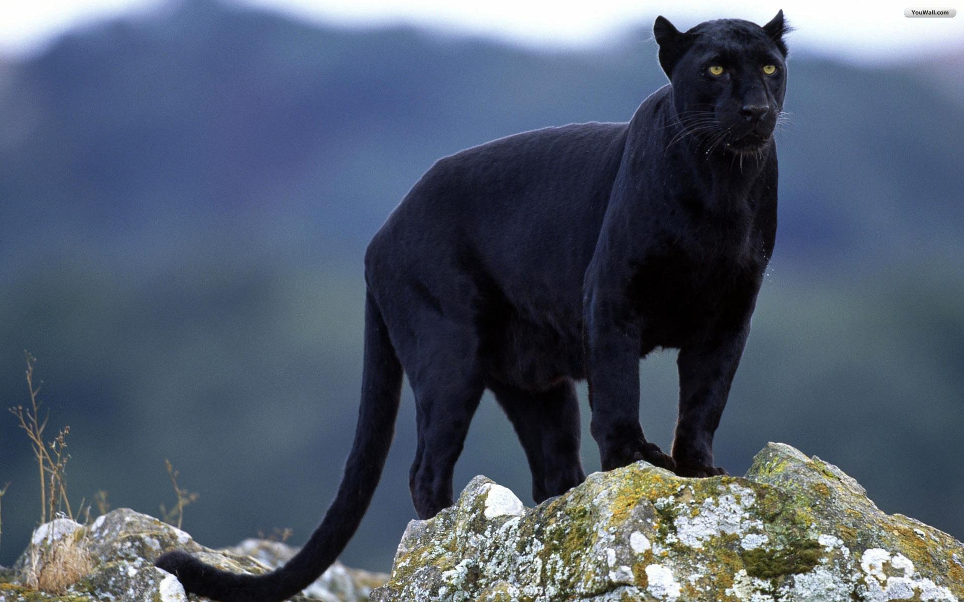 Black Jaguar Animal Wallpaper For Desktop