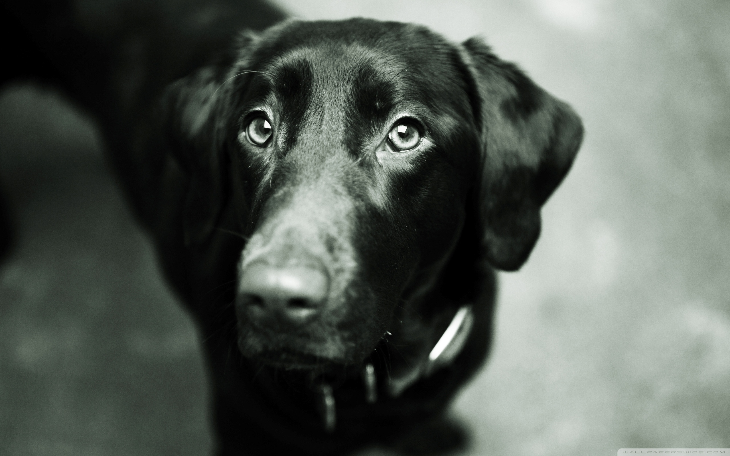 Black Lab Wallpaper