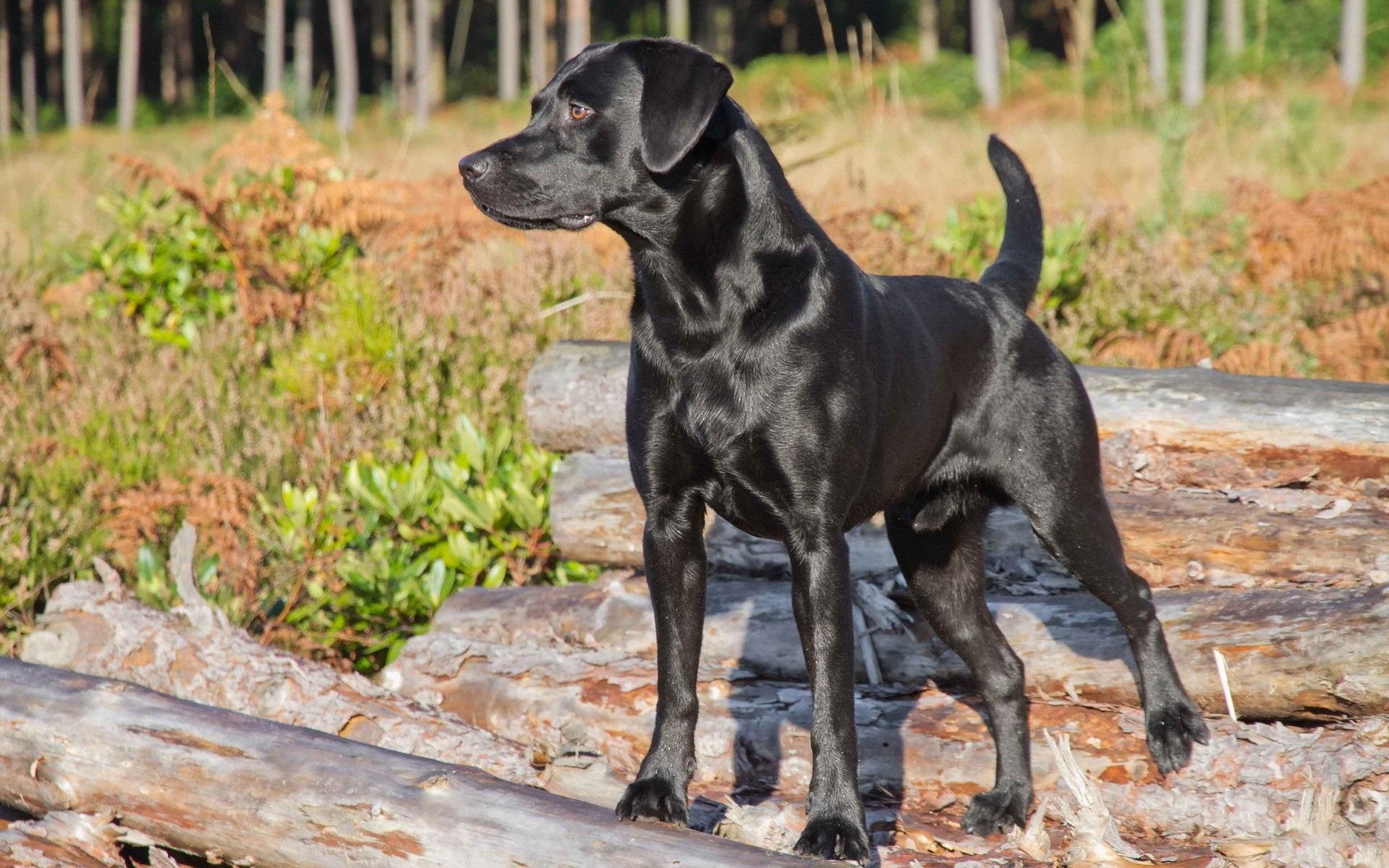 black labrador hunting wallpaper GPskZ2Qt