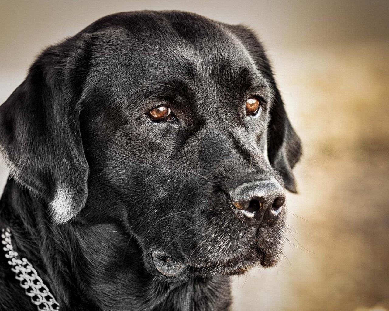 Black Labrador wallpaper | 1280x1024 | #74517