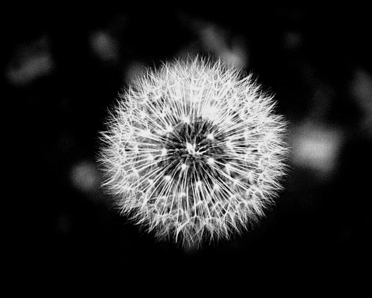 Wallpaper Tags: flower black and white dandelion macro