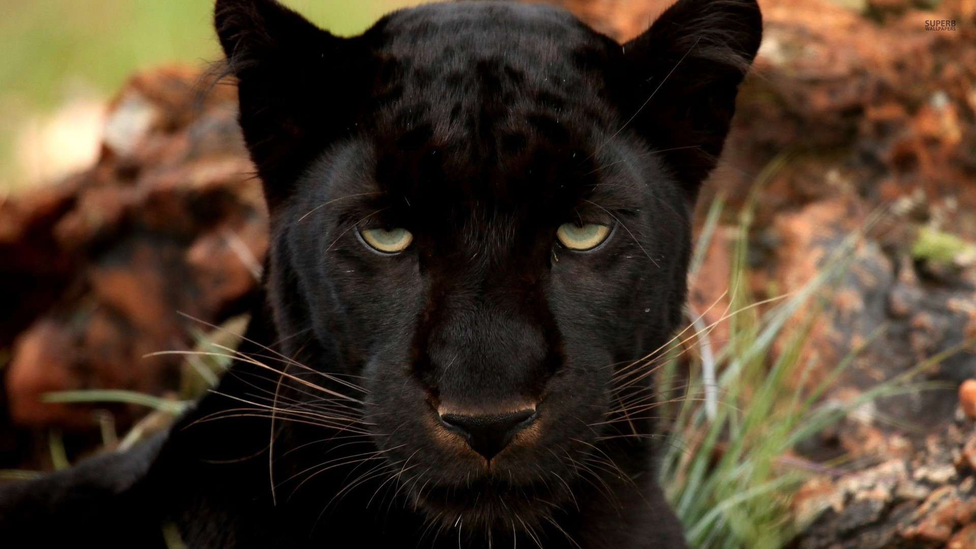 black panther party essay papers Discrimination term papers discrimination/ huey p newton and the black panther party term paper 15719 (huey p newton and the black panther party essay.