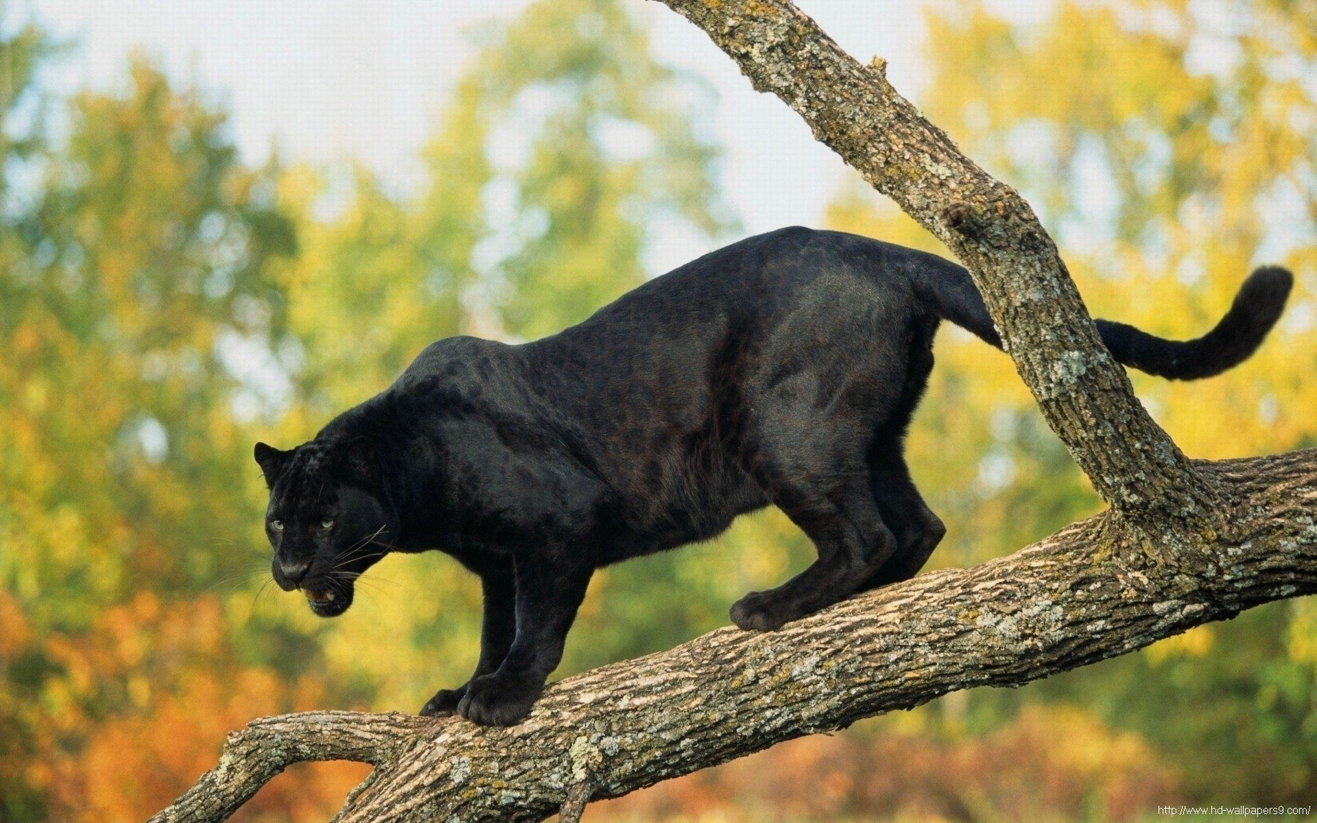... pure-wild-black-panther-hd-wallpapers