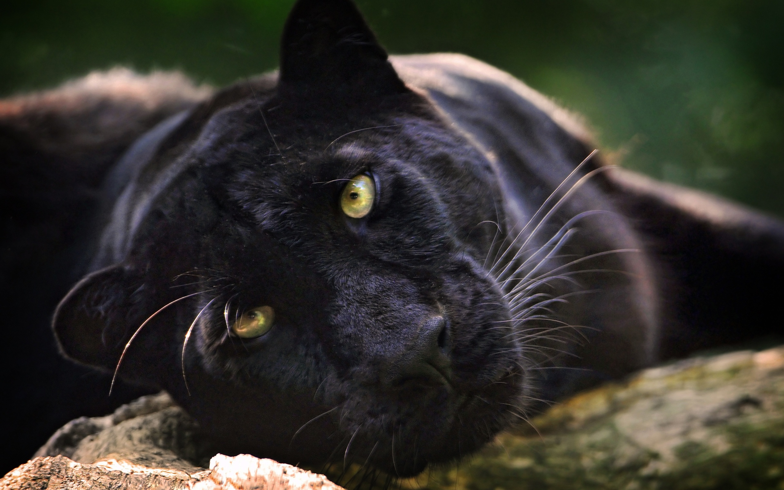 Black Jaguar Animal Search Results Eskipaper Com Cool Wallpapers