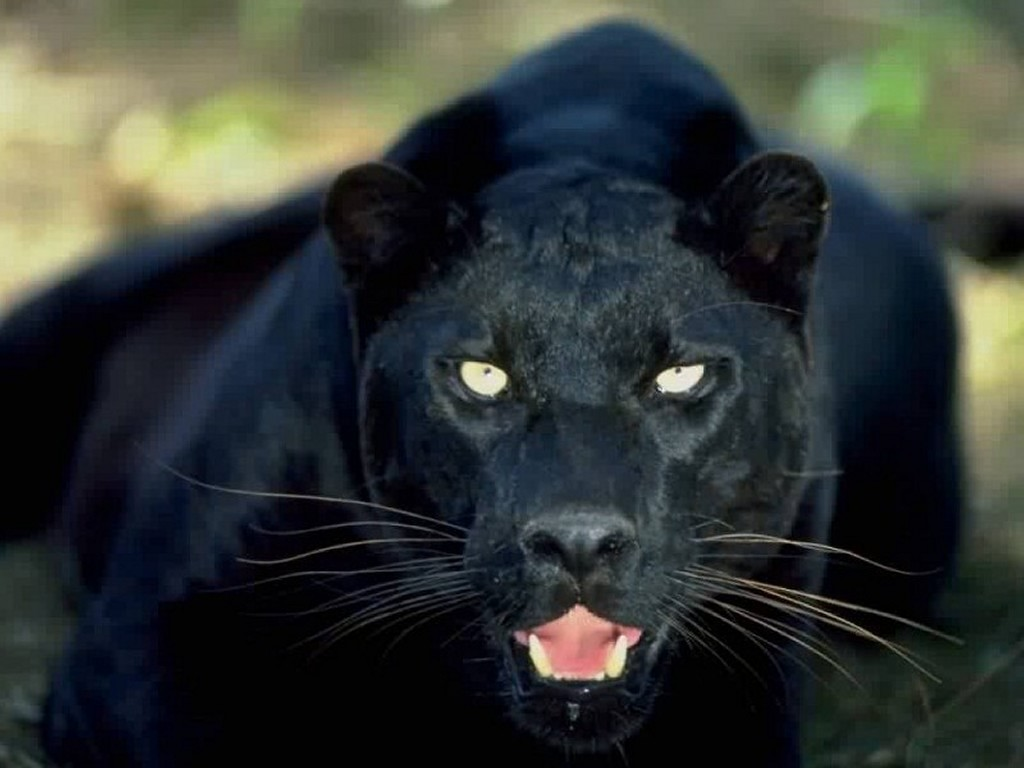 Animals Black Panther