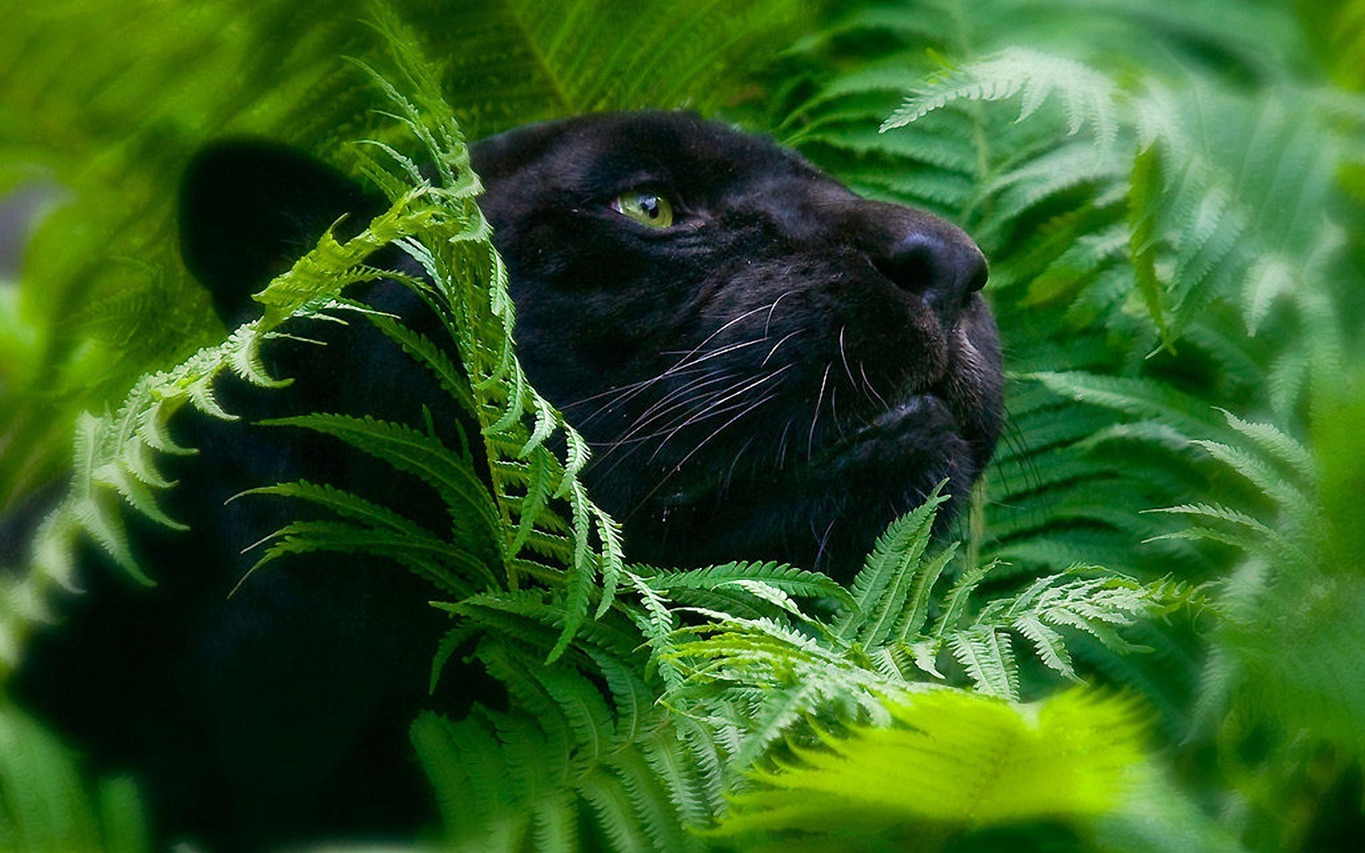 Black Panther Wallpapers2