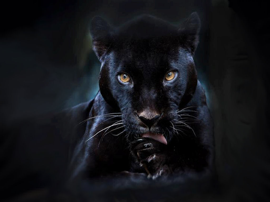Black Panther Free Wallpaper Images 18604 High Resolution