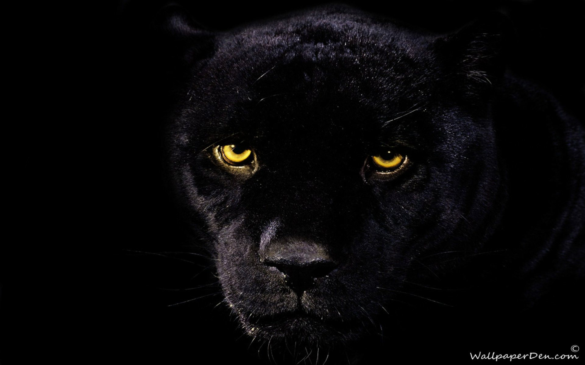 Animal-wallpapers-Black Panther -wallpaper