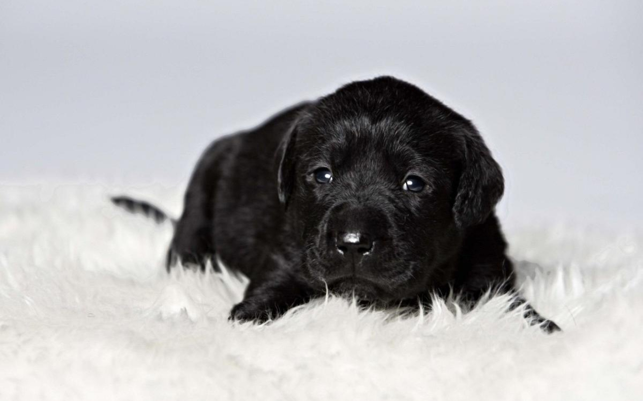 Black Puppy Wallpaper