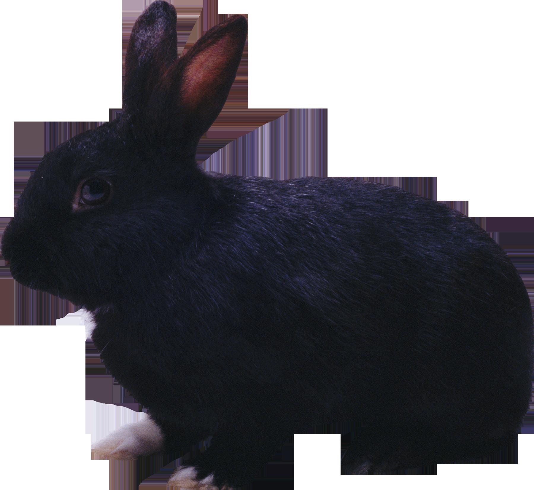 Black rabbit #2