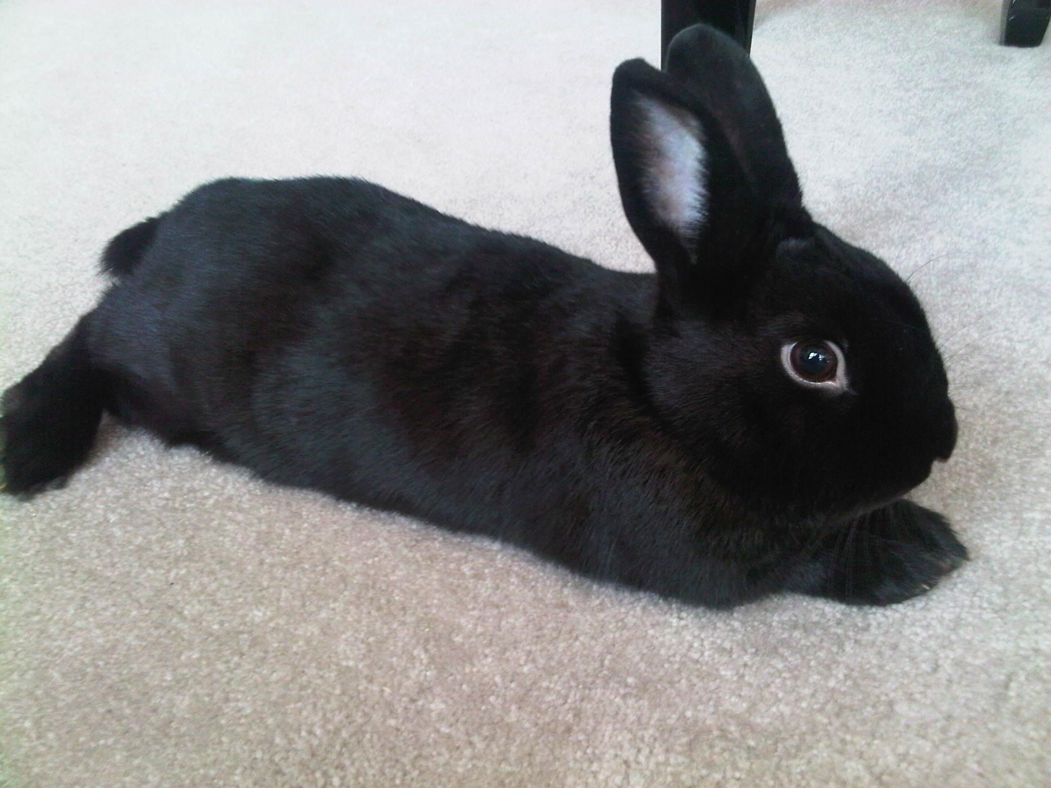 Black rabbit #3