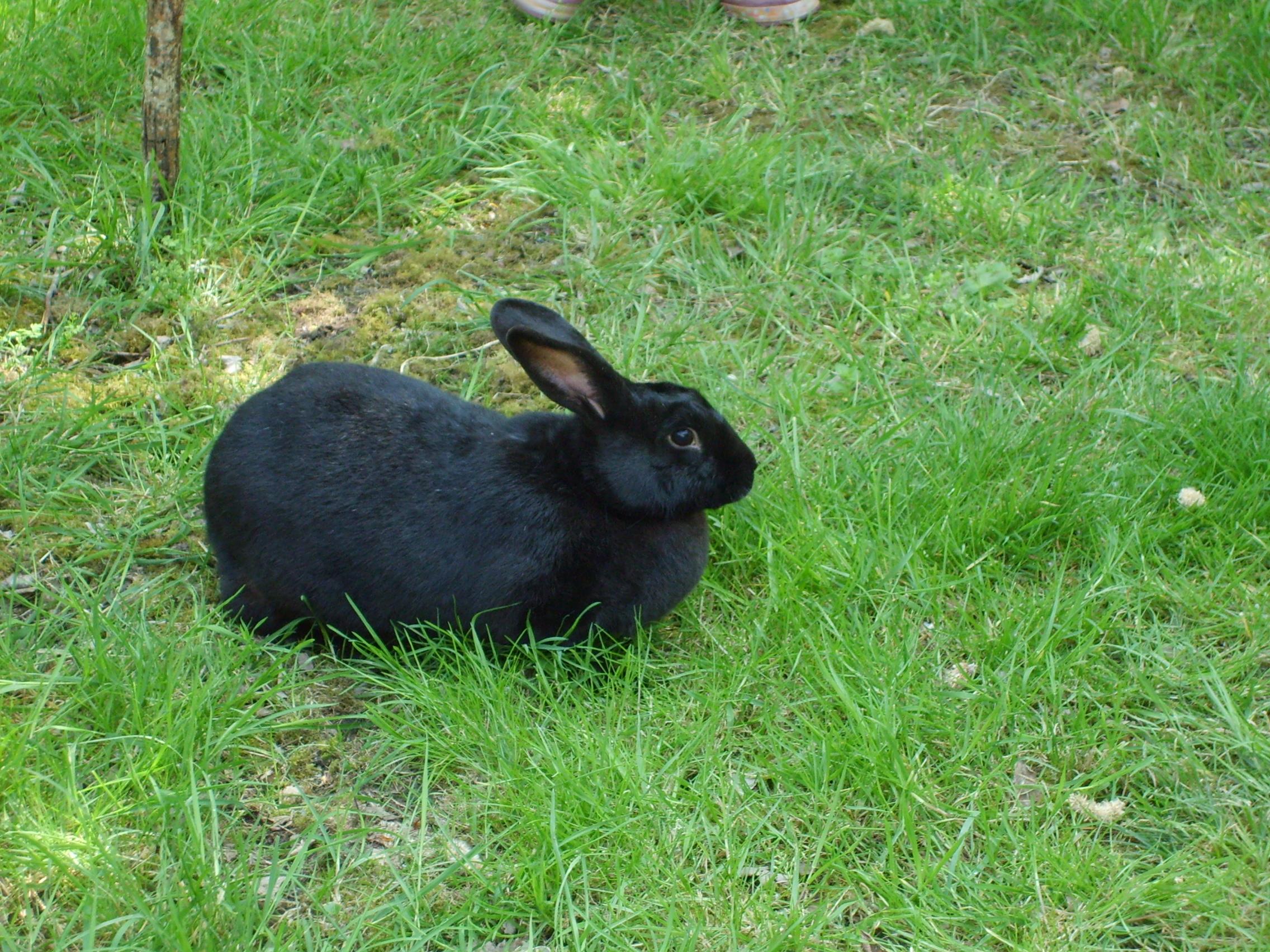 Black rabbit #5