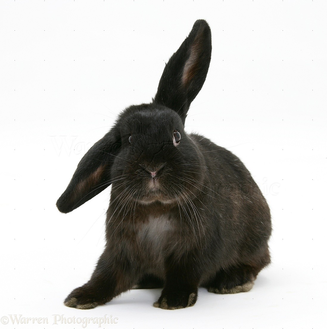 Black rabbit #6