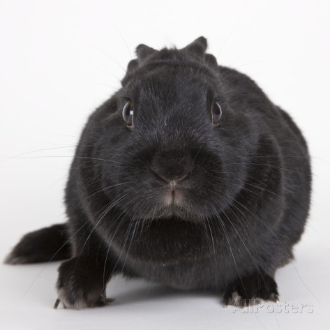 Black rabbit #8