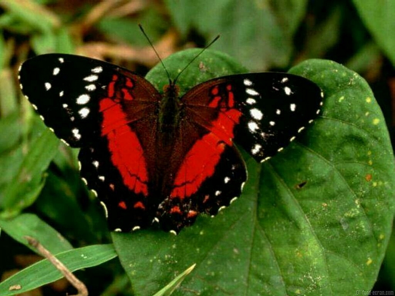 Beautiful Red and Black Butterfly