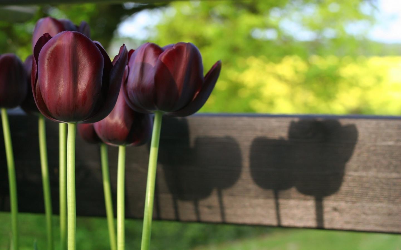 Black Tulips; Black Tulips; Black Tulips ...