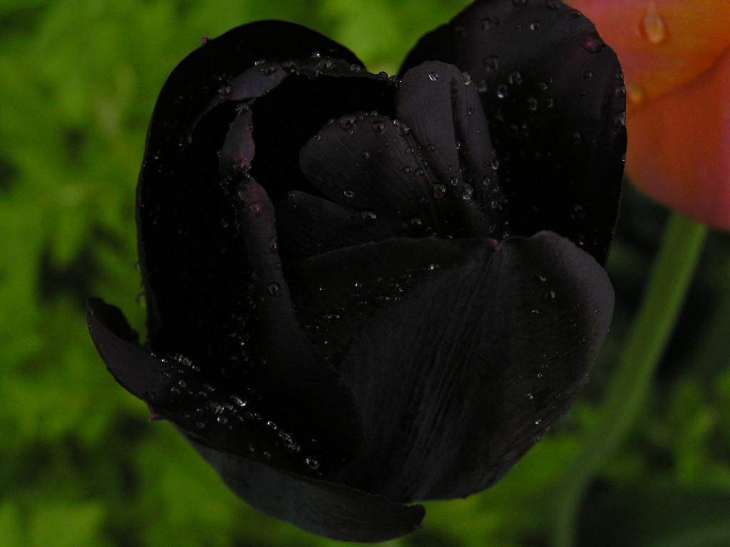 ... Black Tulips; Black Tulips