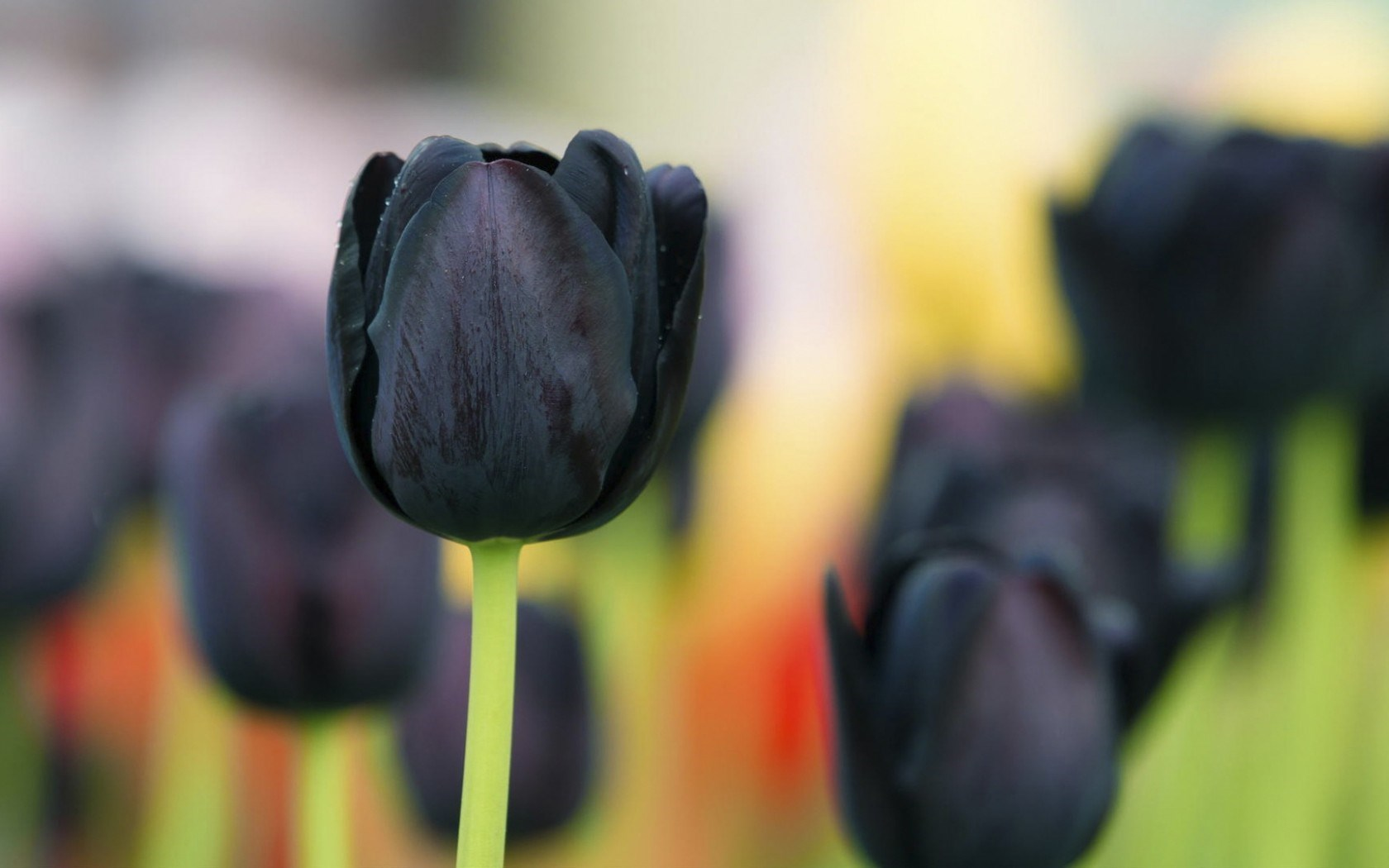 Spring Flowers Black Tulips HD Wallpaper