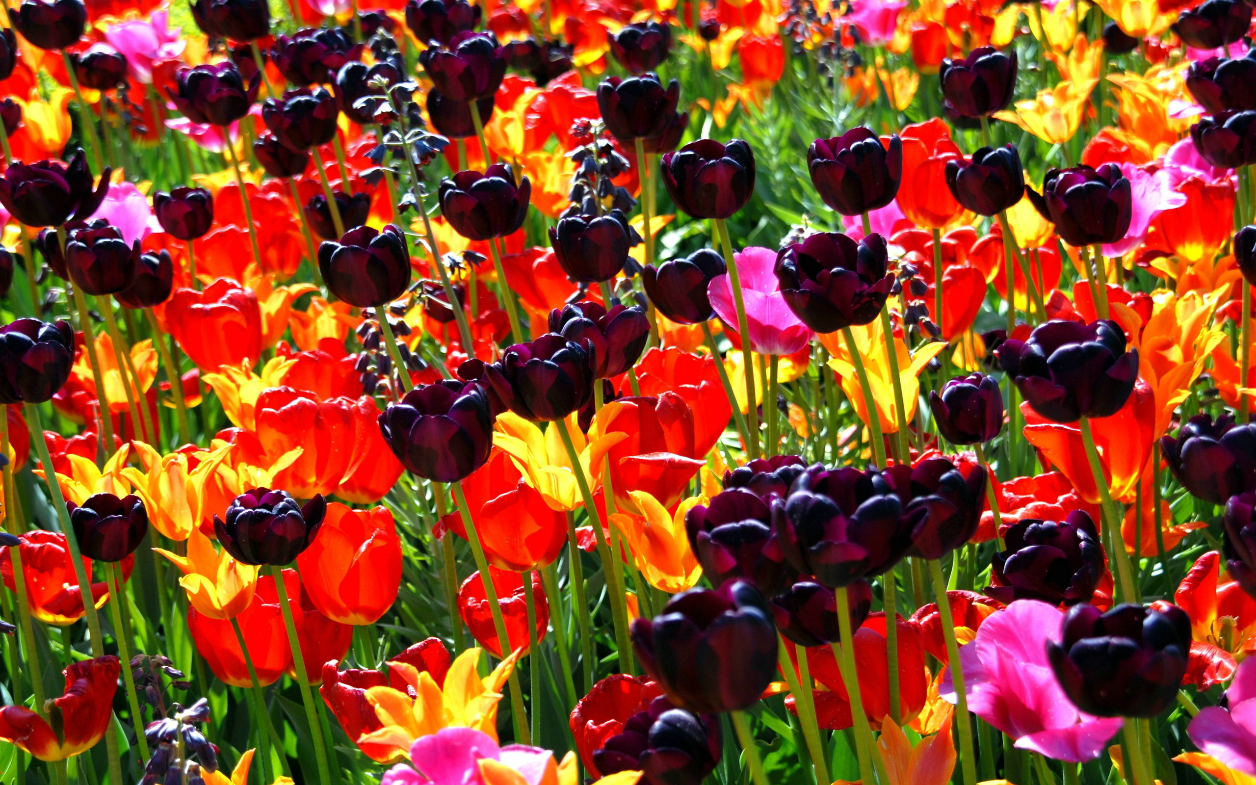 Black Tulips Field
