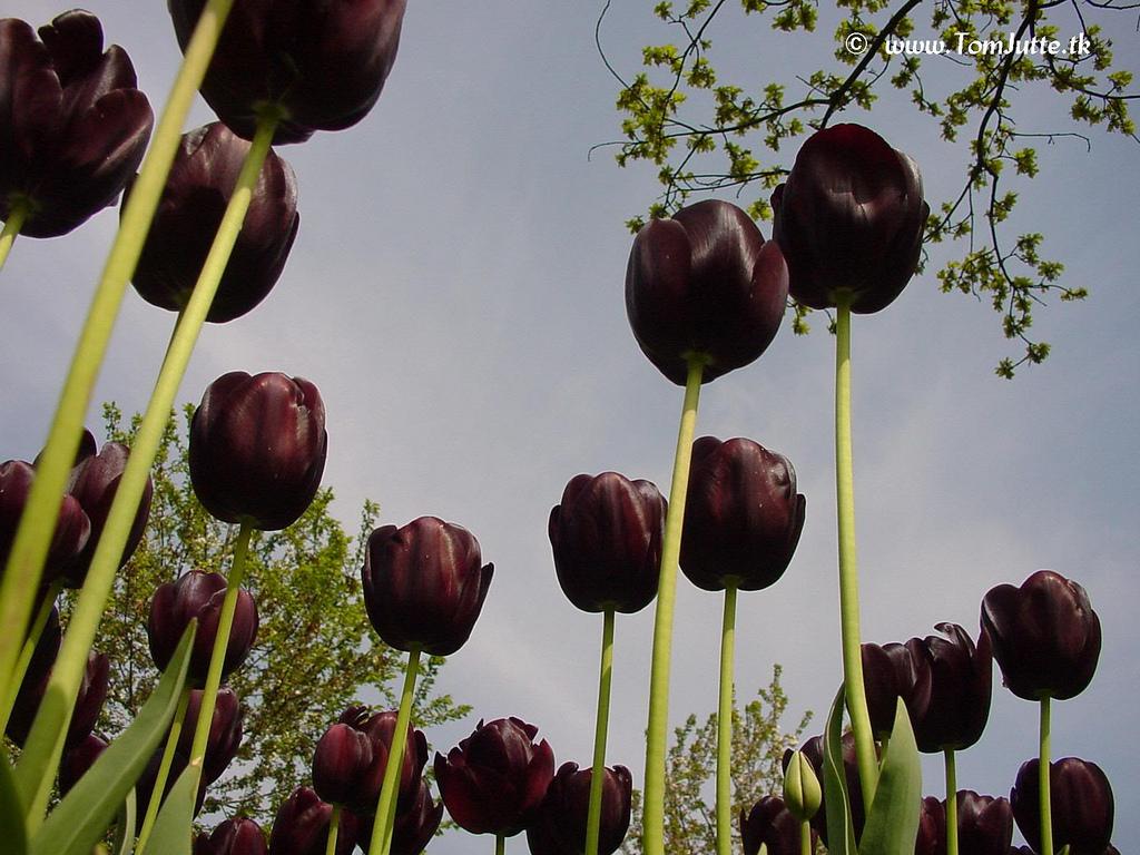 ... Dutch Tulips - Black Tulip, Queen of the Night - 3981 | by HereIsTom