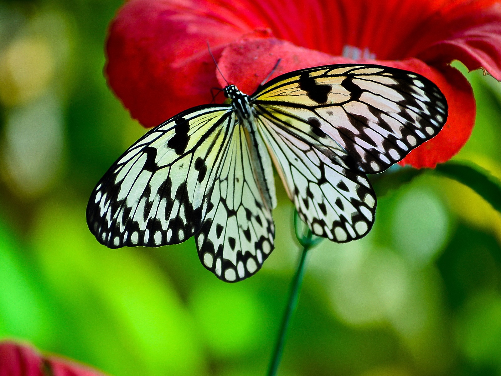 Black White Butterfly wallpaper