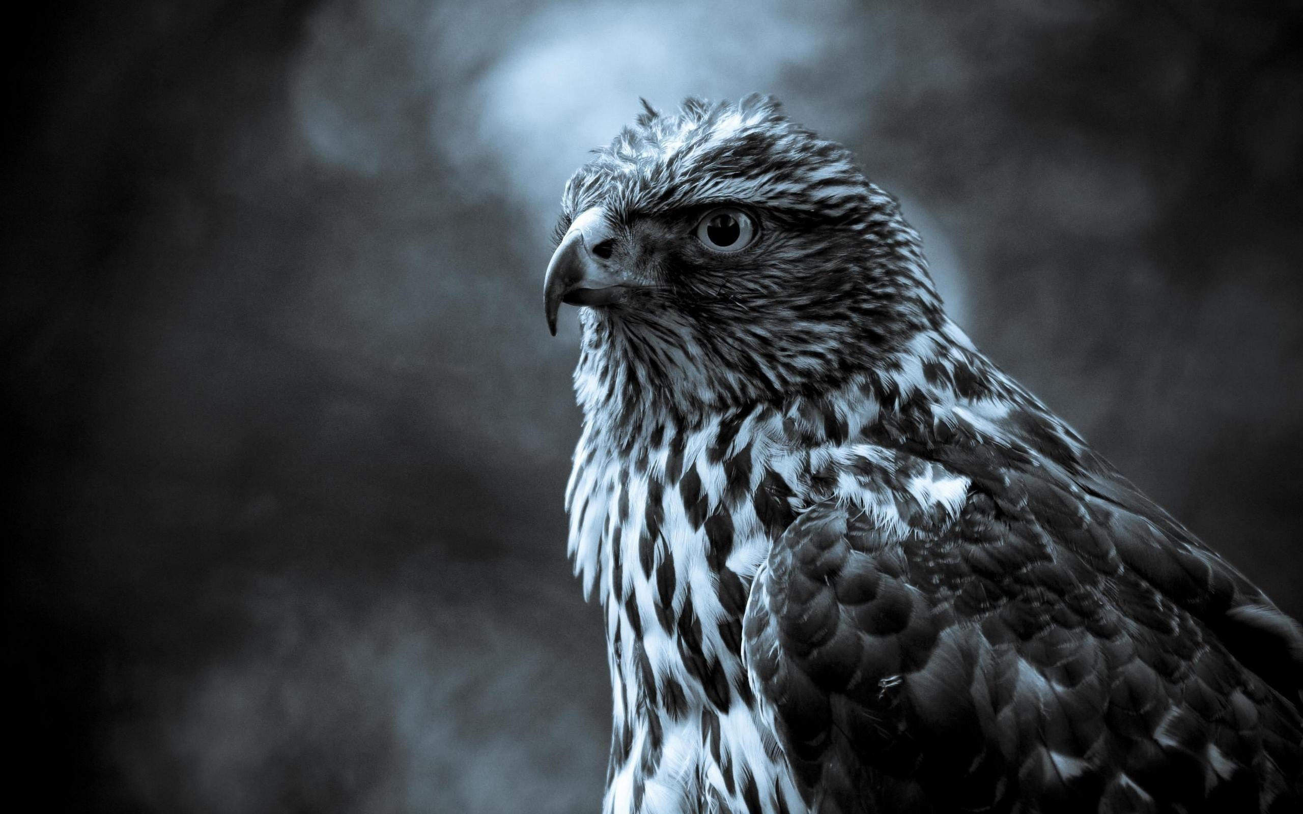 Black White Eagle