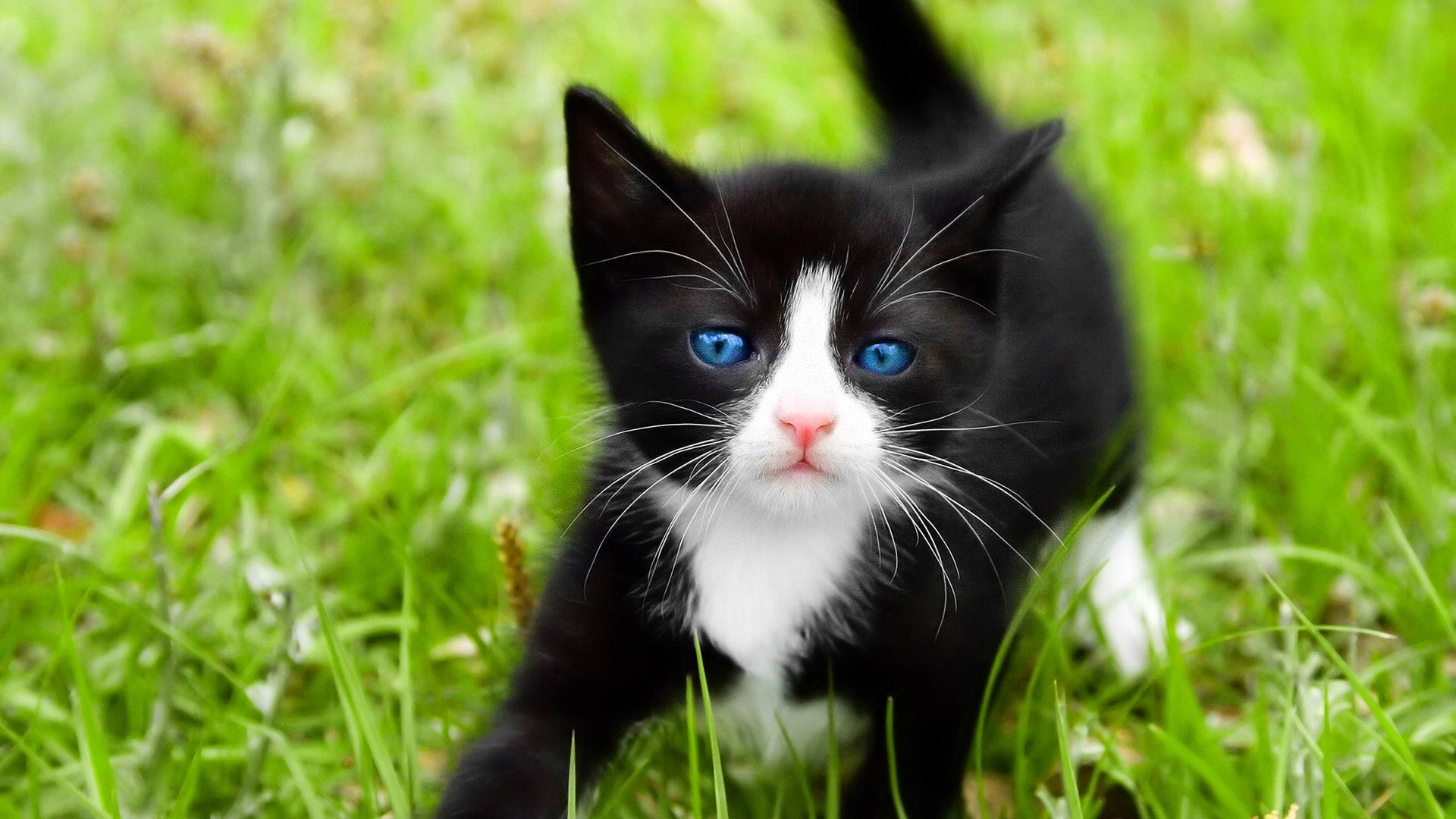 black white kitten wallpaper | 1920x1080 | #11872
