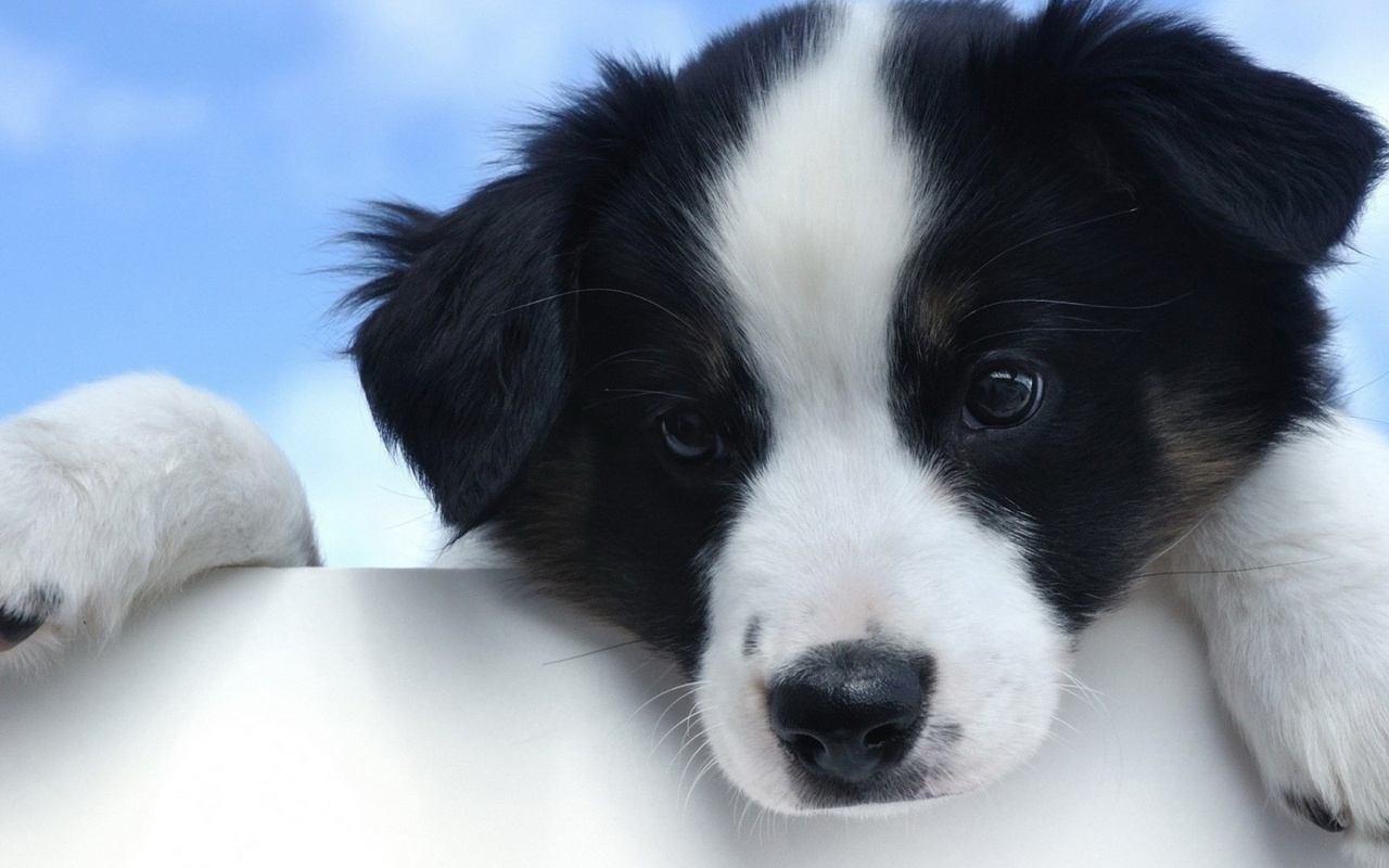 Black White Puppy