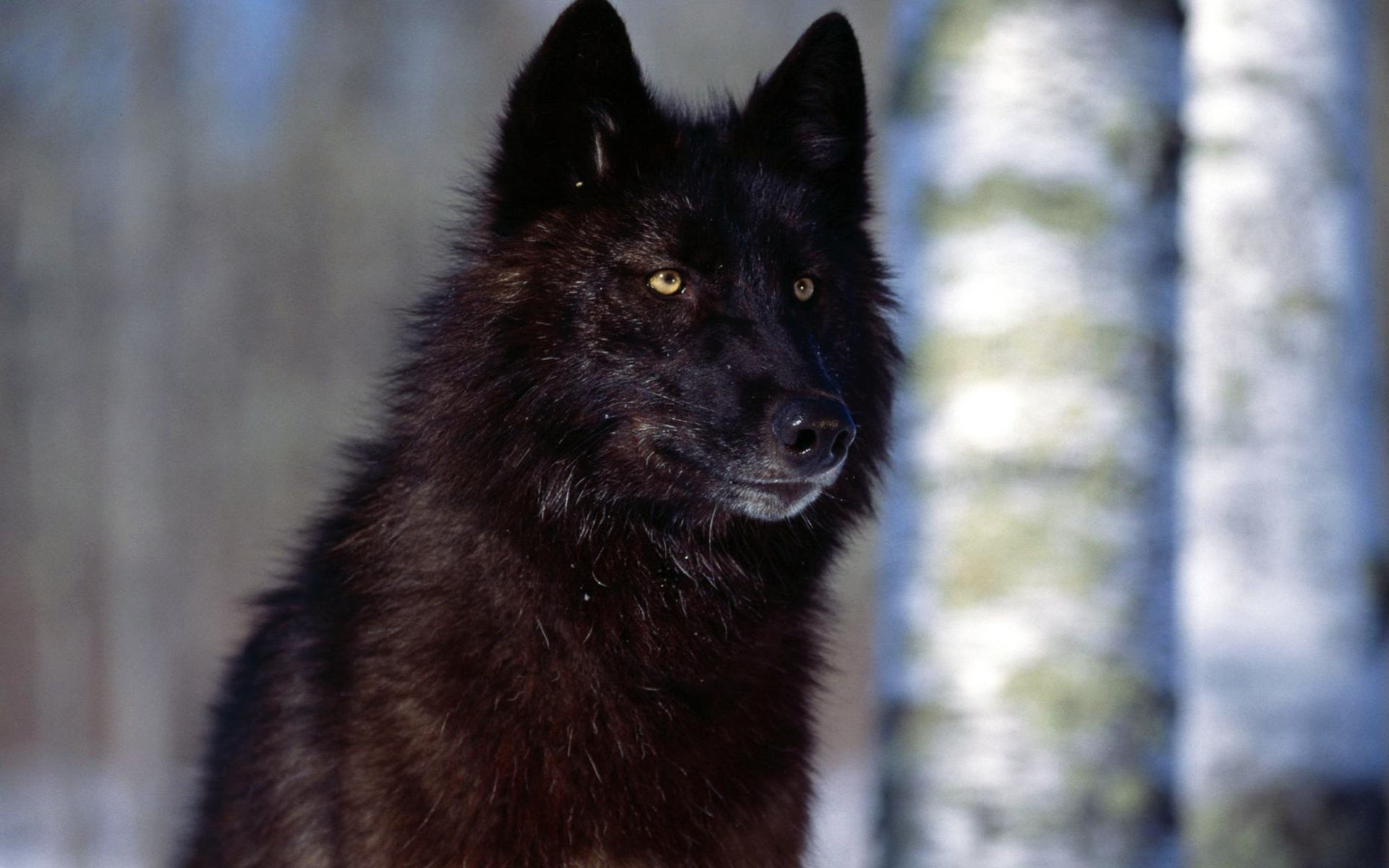 black wolf with yellow eyes - photo #28