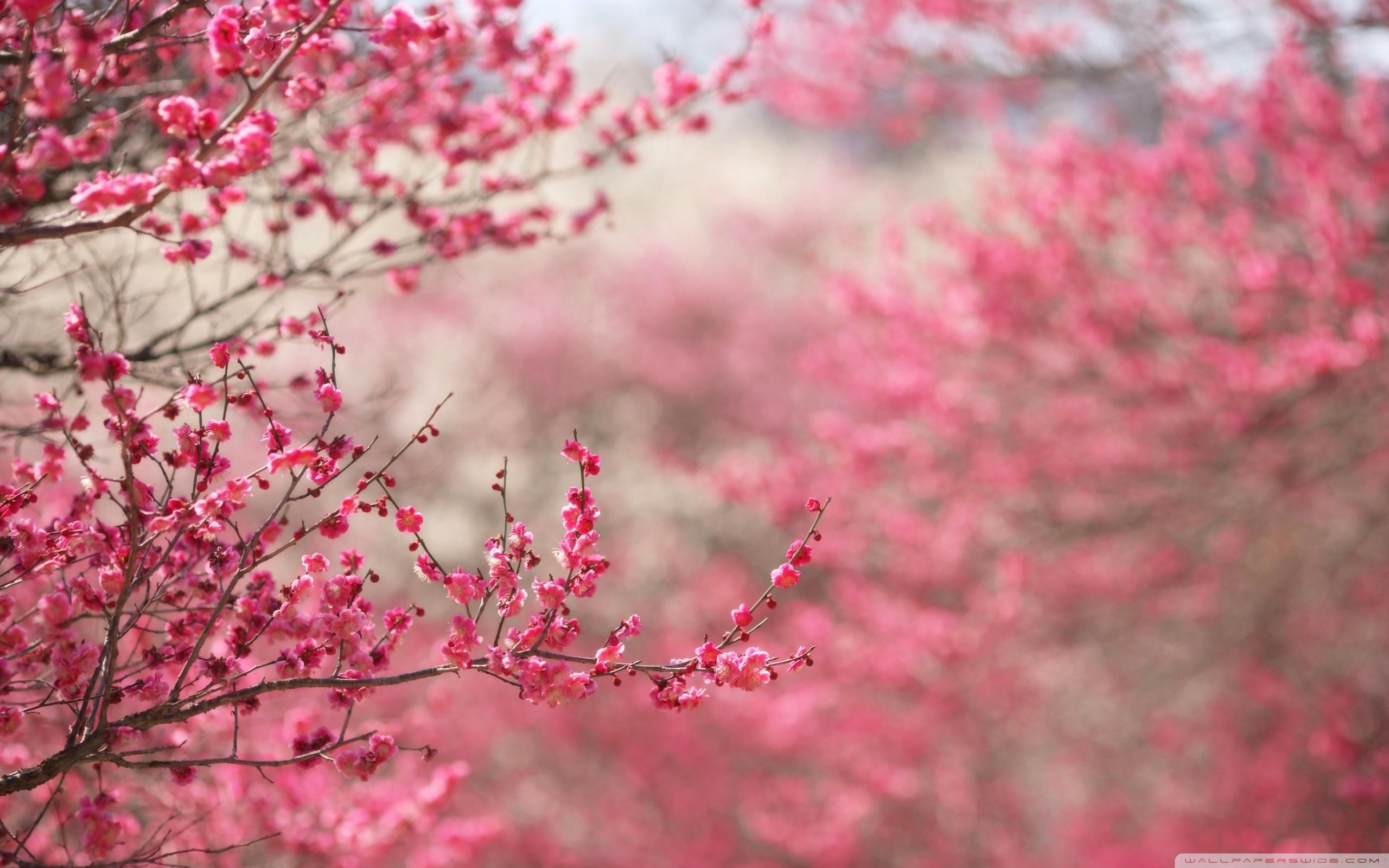 Blossom Wallpaper HD