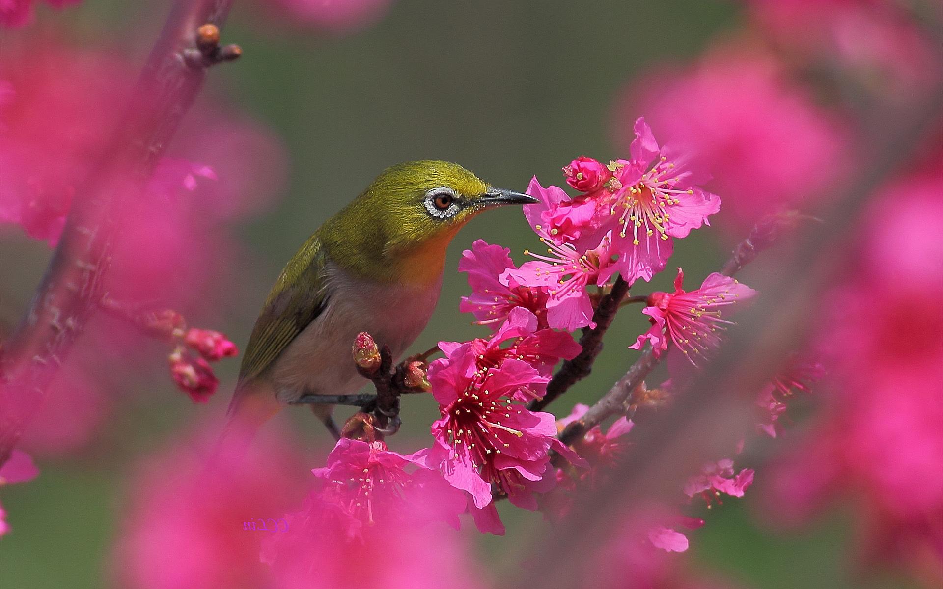 Blossoms white eye bird