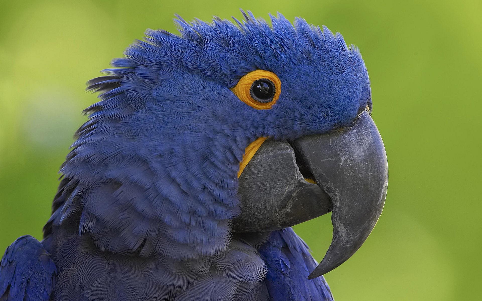 Blue Beak Parrot