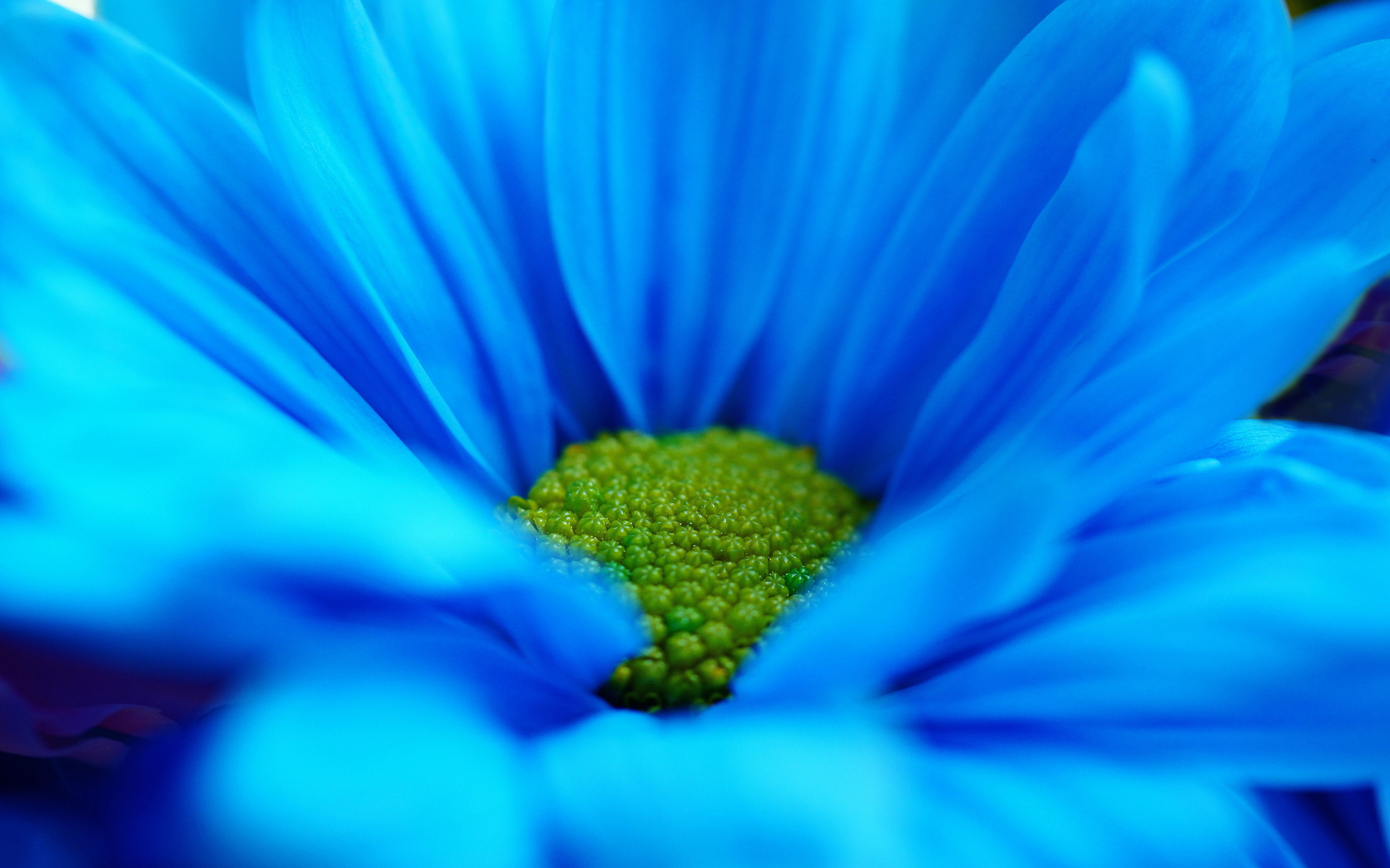 Blue daisy macro wallpaper | 2880x1800 | #29518