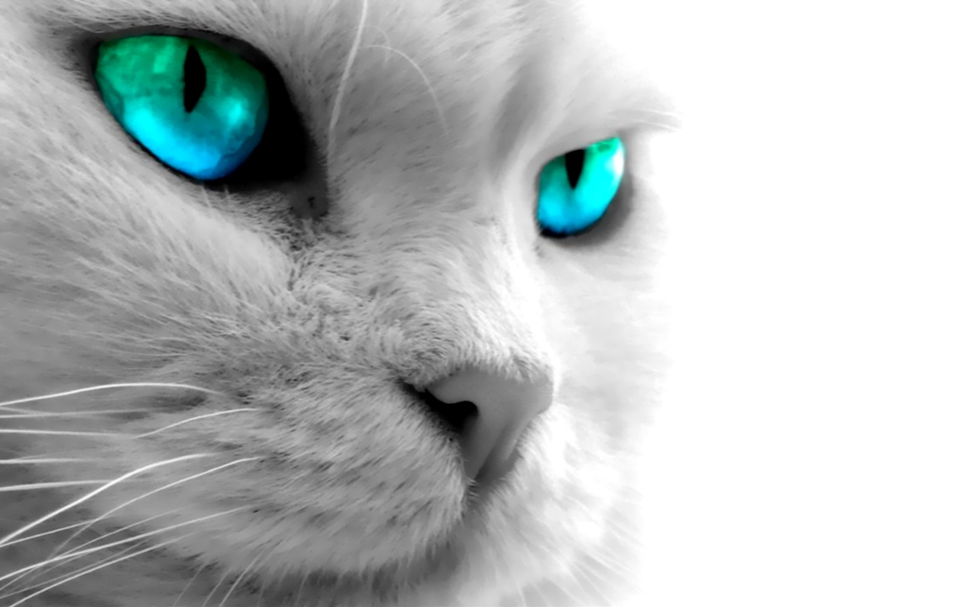 Blue eyed cat wallpaper