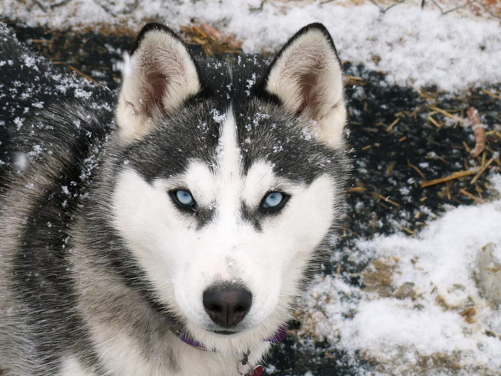 siberian huskies with blue eyes